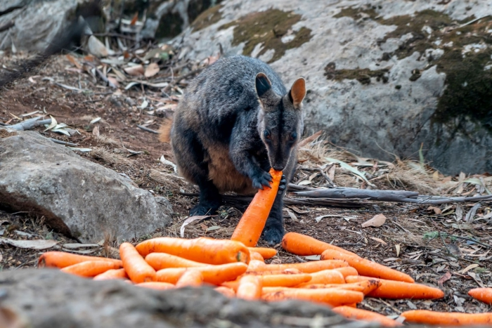 air-dropping vegetables for starving animals wild animal eating carrots