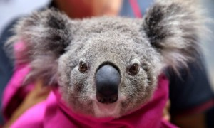 Forest fires in Australia one billion animals killed