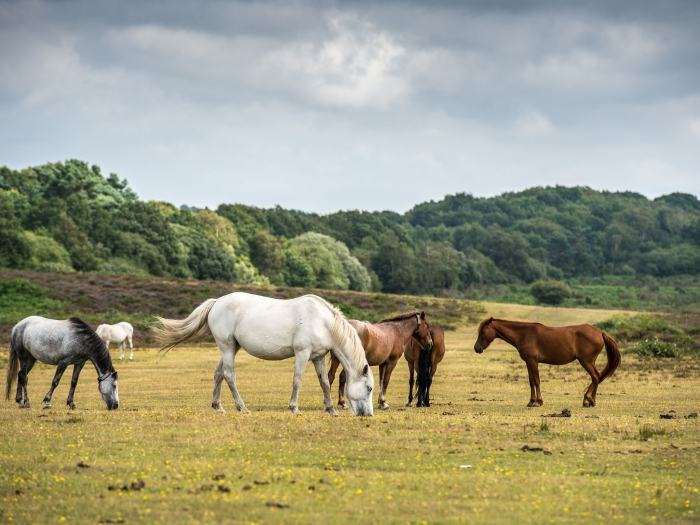 New Forest Hampshire horses grazing in a green field