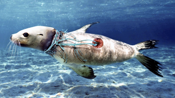 Plastic pollution in the ocean marine life seal trapped in plastic