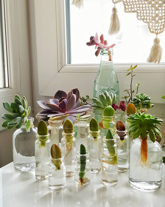 growing tips succulents in glass jars and bottles on a window