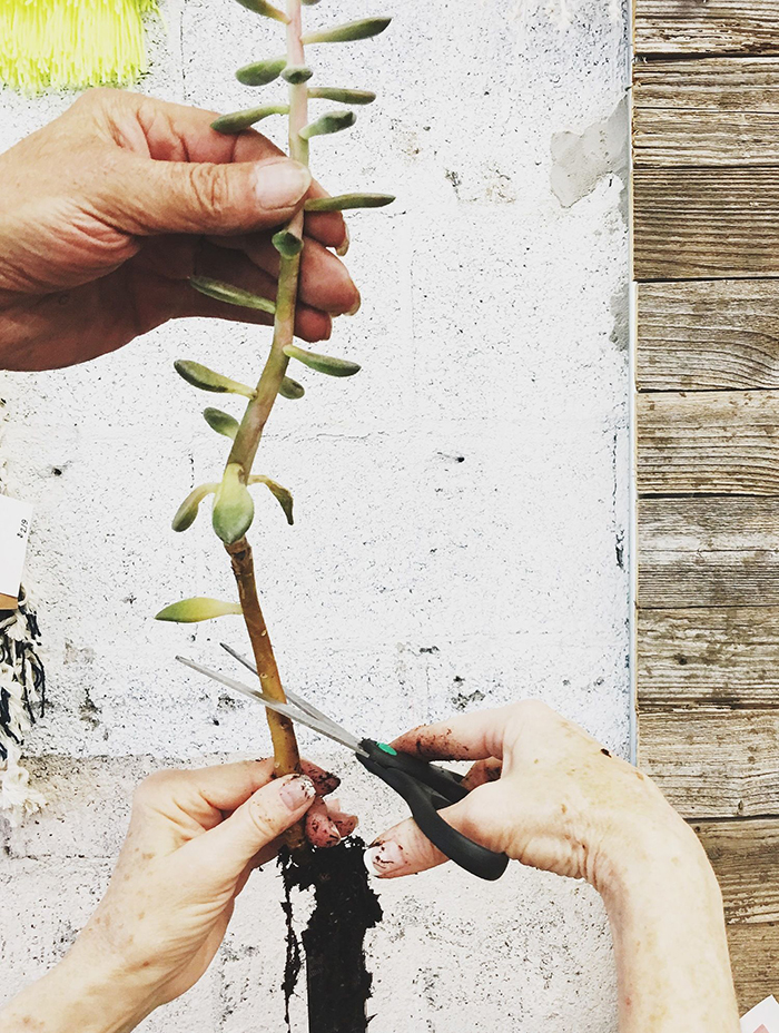 hand holding a succulent cutting roots scissors trimming succulents
