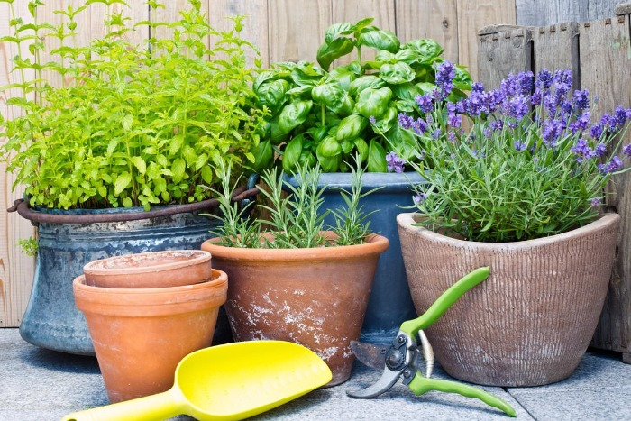 herbs in different pots and gardening tools basil rosemary and lavender