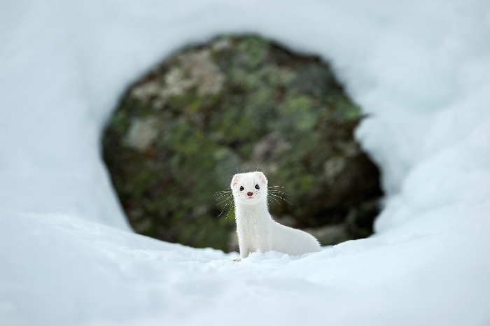 white weasel peaking from the snow with a rock in the background