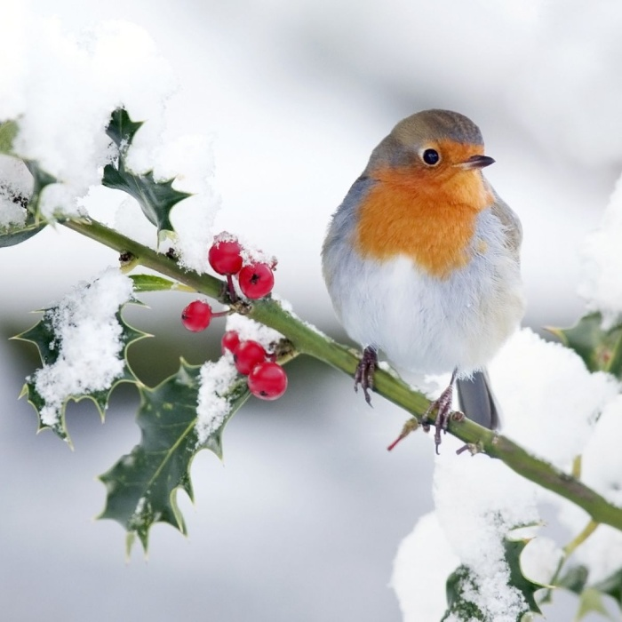 bird standing on a branch covered in winter snow red berries