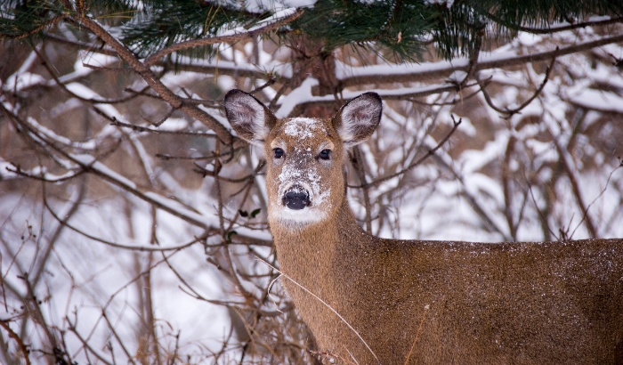 deer in winter forest with snow looking on a snowy background