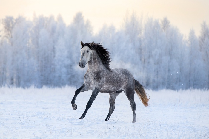 horse in winter landscape galloping accross a snow covered field