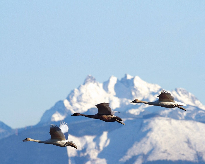 winter migration of birds on a snowy peak background