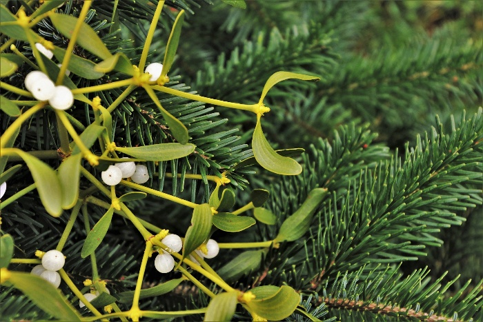 mistletoe branches and pine branches close up green christmas bouquet