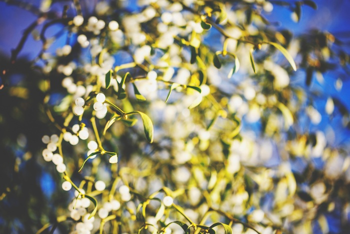 mistletoe cloes up branches leaves and small white fuits