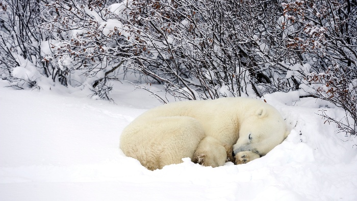 sleeping white bear in the snow winter hubernation
