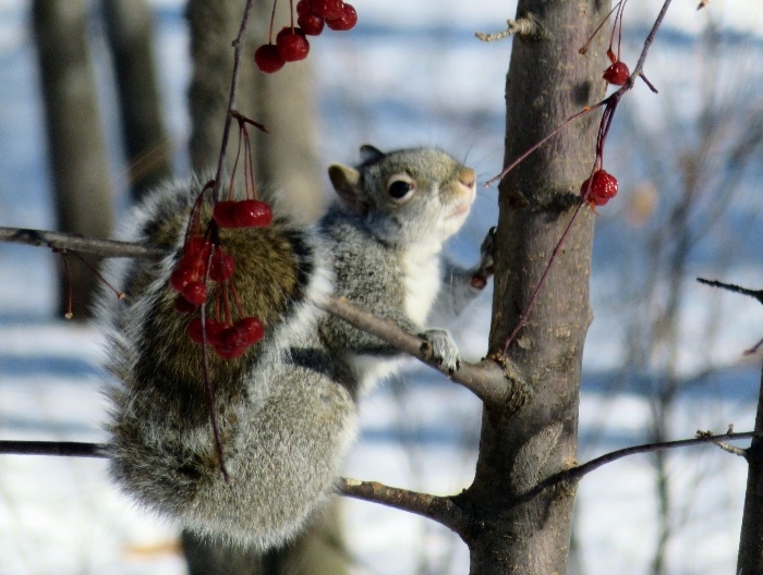 Squirrel climbing a tree gathering red berries from the branches