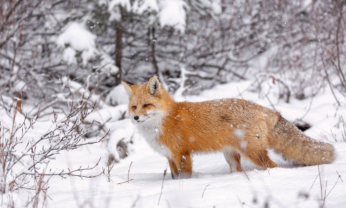 red fox in the snow forest red fox covered in snow