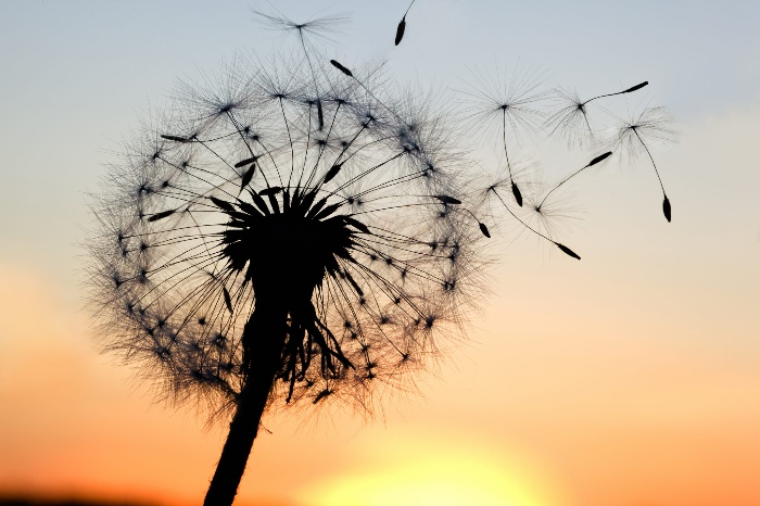 new year letting go dandelion on a sunset background