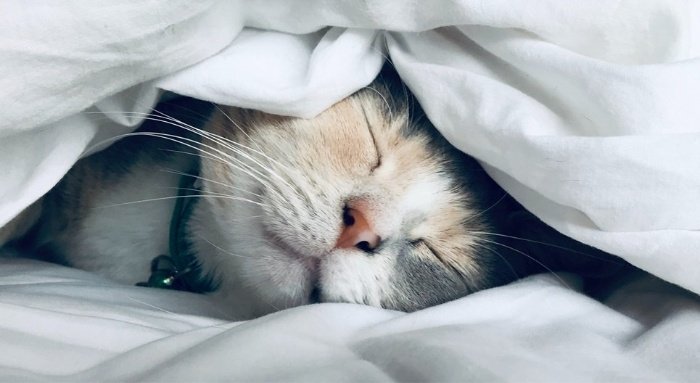 cat sleeps under a blanket and shows her face