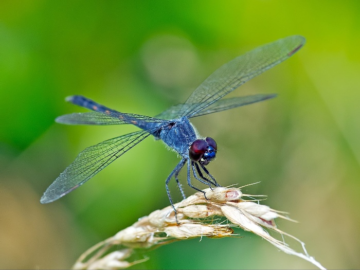 blue dragonfly landed on a plant green background