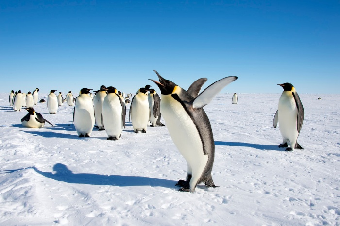 emperor penguins in a snowy landscape a penguin in front walking and clapping with his wings