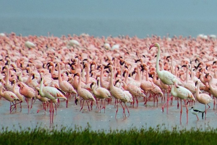 animal migrations thousands of pink flamingos in a lake
