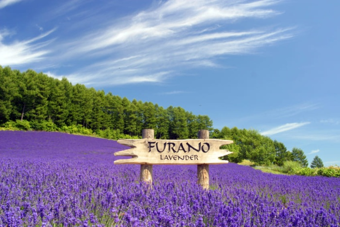 furano japan lavender field blossoming lavender