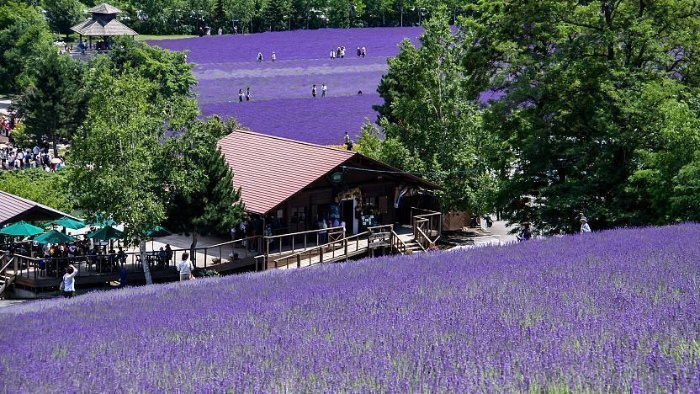 japanese garden lavender fields in japan furano with people picking the lavender