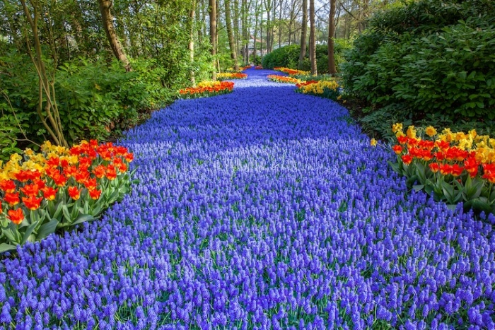 keukenhof gardens river made of blue flowers and colorful tulips on the sides