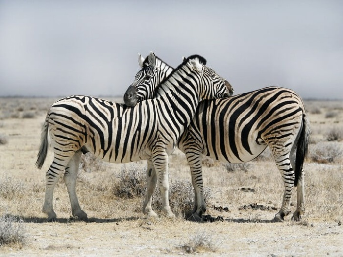 two zebras cuddling in the middle of a dry field