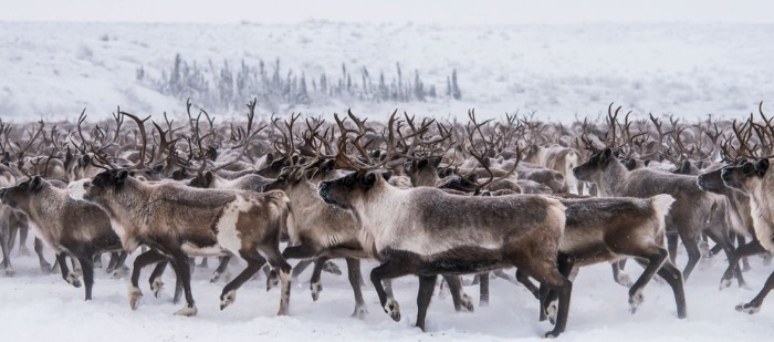 animal migrations reindeer in the snow walking in one direction