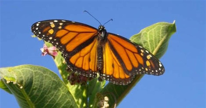 monarch butterfly on a green plant and a blue sky