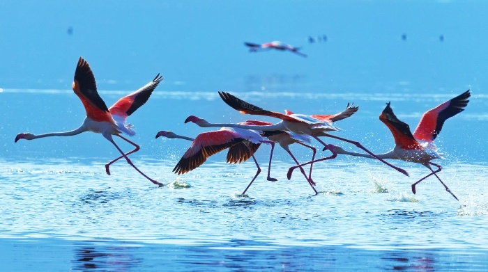 several pink flamingos in flight above a lake