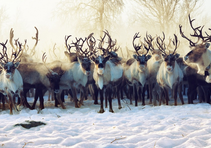 animal migration a herd of reindeers in the snow and fog