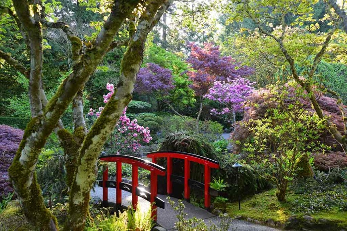 the japanese garden with a red bridge and blossoming cherry trees