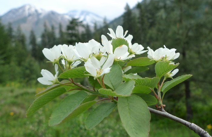Amelanchier alnifolia branch with blossoming white flowers in a forest