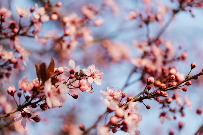branches of cherry tree with tiny pink flowers outdoors
