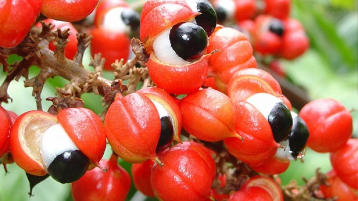 lots of guarana fruits on a branch with red shells and black core