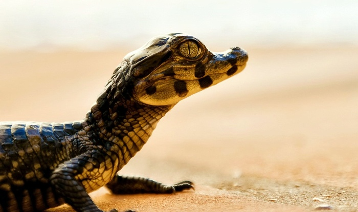 baby croc on a beach enjoying the sun