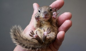 baby-squirrel