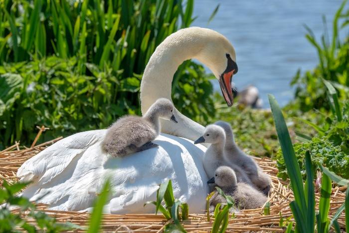 baby swans mother swan and little baby swans on a river bank