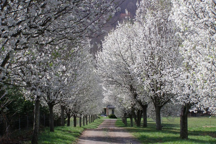 callery pear trees in a beautiful park along a lane