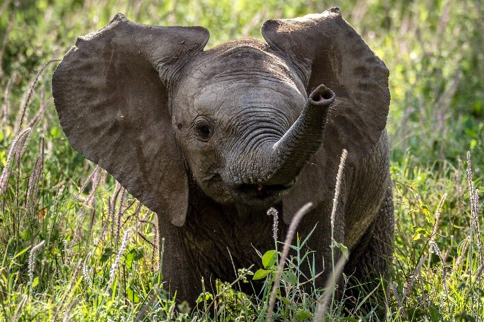 elephant baby in the middle of a field with green grass