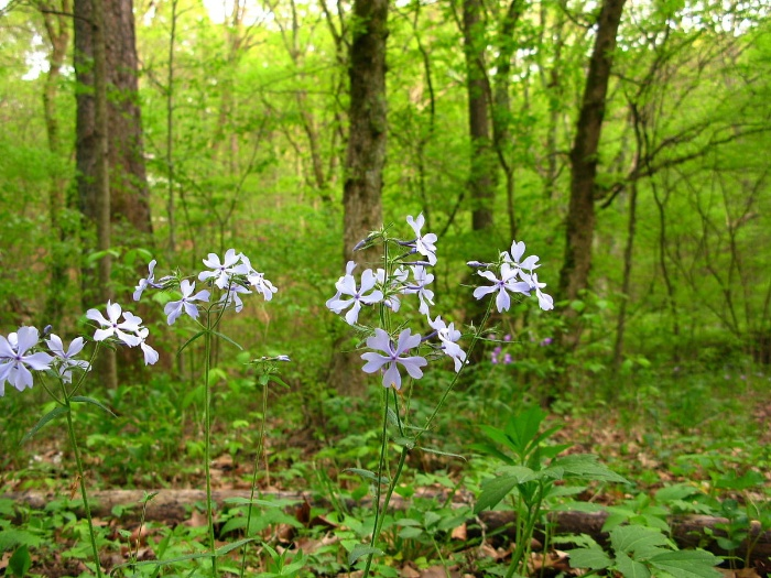 forest wildflowers virginia green forest with tiny purple flowers