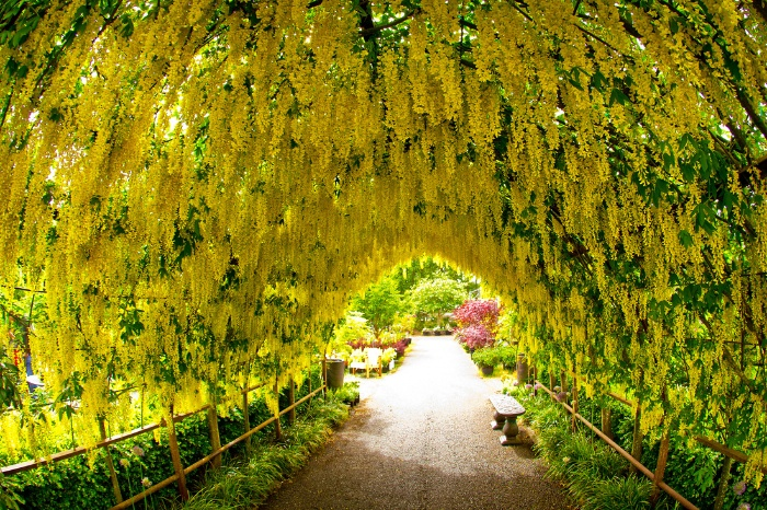 golden chain tree a beautiful yellow tunnel of flowers