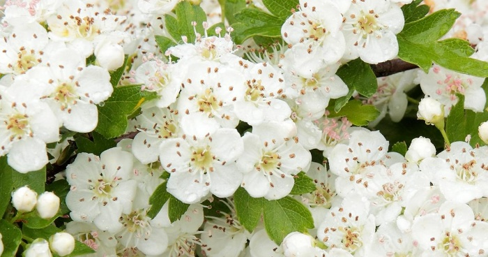 hawthorn blossoming in white flowers spring tree