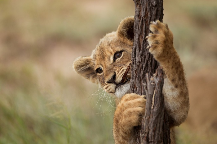 lion baby holding a tree and climbing up