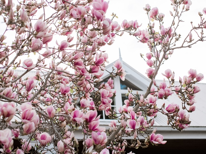 magnolia tree pink magnolias blossoming outside in spring