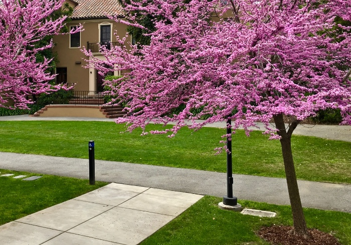 redbud trees outside in a garden blossoming in bright pink
