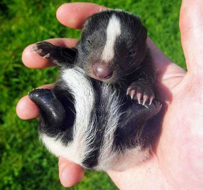person holding a black and white baby skunk in their hand