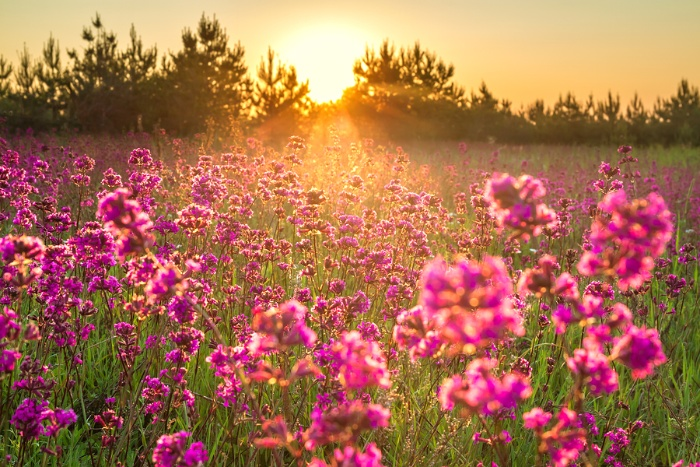 wildflower fields with pink flowers in a green grass at sunset