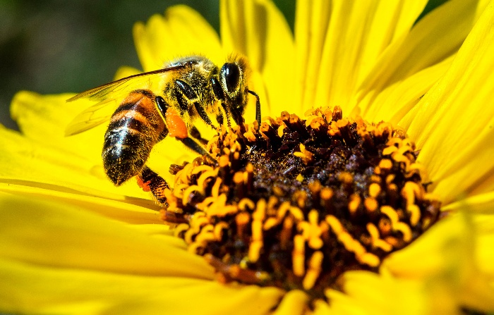 bee gathering pollen in a large yellow flower