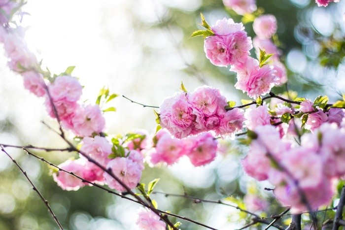 spring in the trees blooming branches with gentle pink flowers
