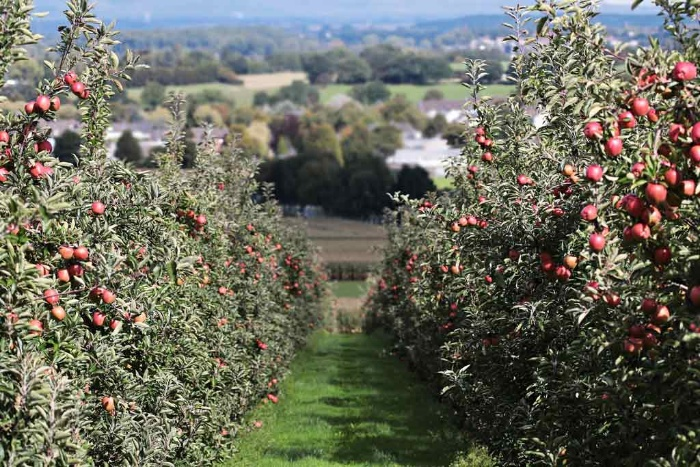 apple fruit orchard with many trees in a row and apples on them